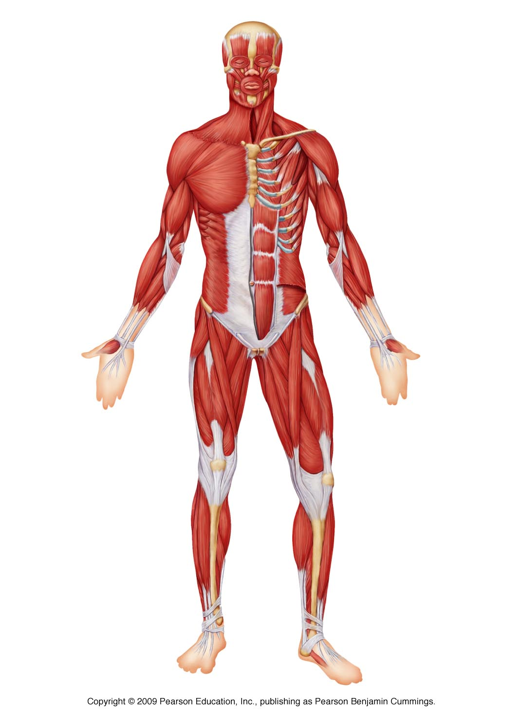 Muscles Of The Body Unlabeled