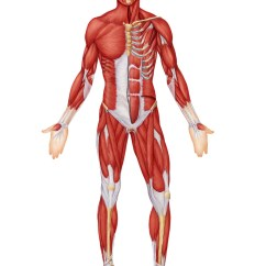 Unlabeled Muscles Diagram Blank Of Water In A Hypertonic Solution The Body Modernheal