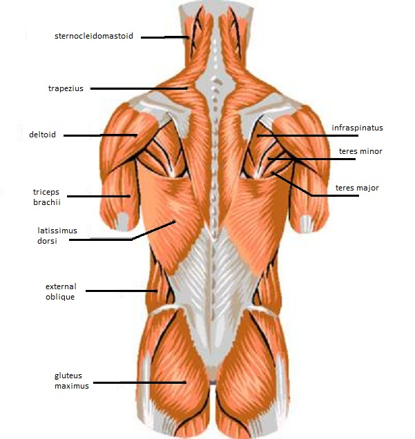 Muscles Of The Chest Wall Modernheal Com