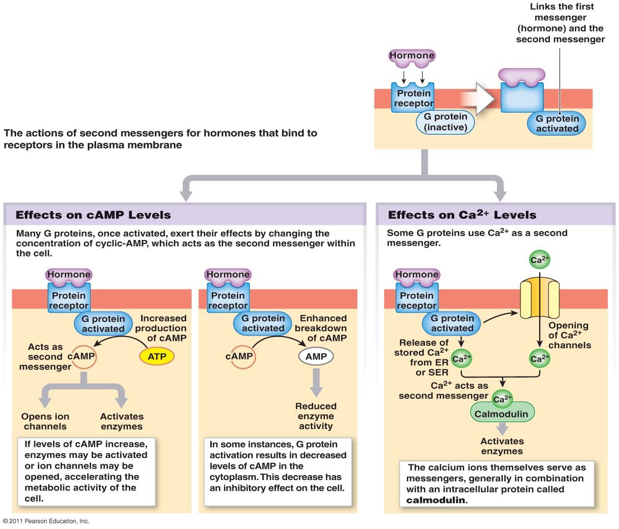 endocrine system diagram tekonsha primus iq electric brake controller wiring of female reproduction
