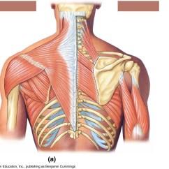 Back Muscles Diagram Unlabeled Pioneer Radio Manual Deltoid Muscle Blood Supply Modernheal