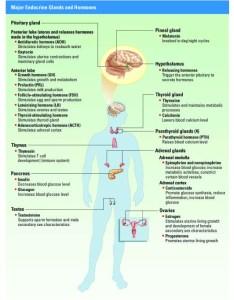 Endocrine system charts also people davidjoel rh