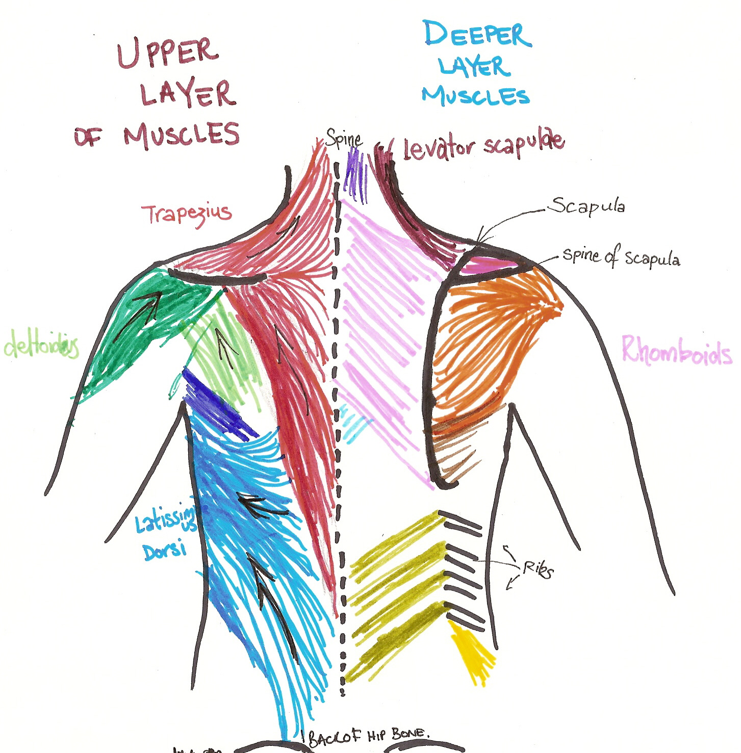 muscles in your arm diagram three way switch wire best back training exercises