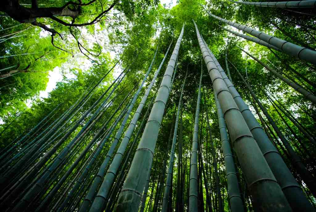 bamboo trees used for making sheets