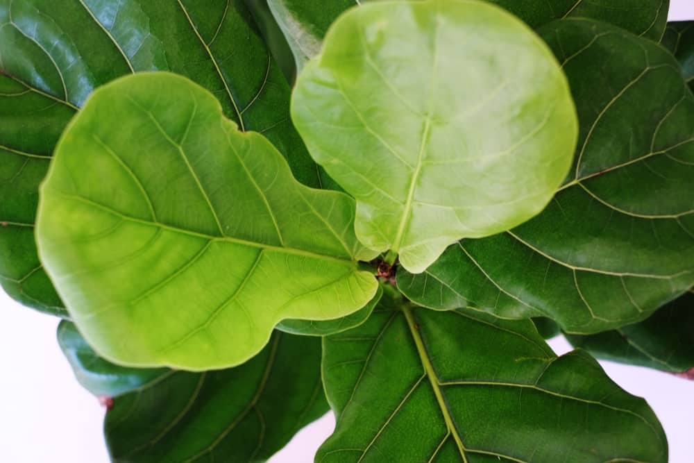 close up of fiddle leaf fig tree