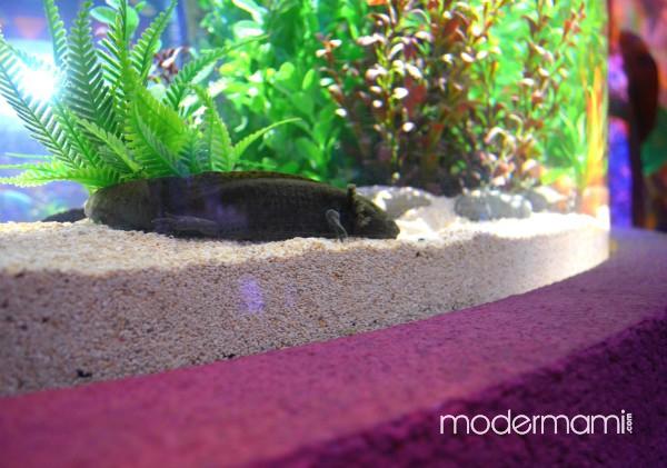 Sea Life Orlando Aquarium Axolotl Exhibit Toddler Tuesday Experience