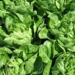 California Lettuce Recalled Over Contamination Fears