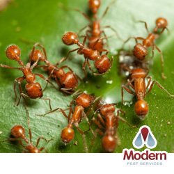 Adult Worker Of The European Fire Ant Myrmica Rubra Linnaeus Notice Sting