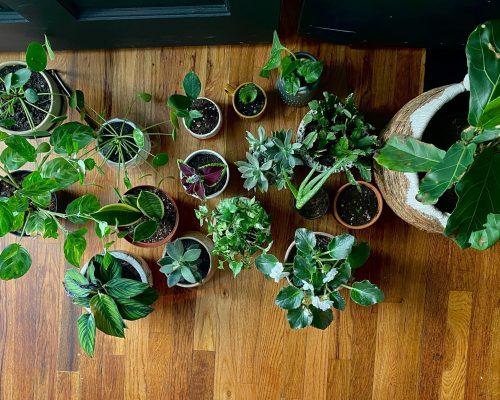 biljke koje vole tamu
