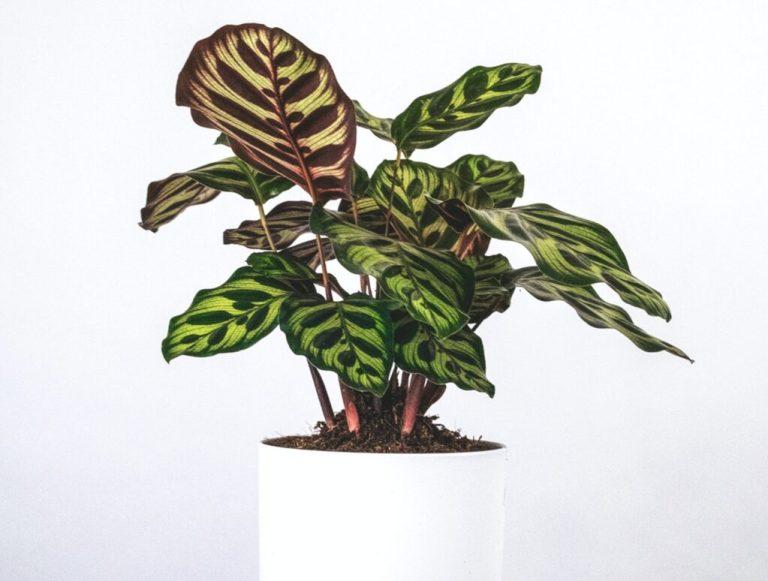 Kalateja - biljke koje vole tamu