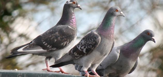 تفسير رؤية طيور الحمام لابن سيرين مفسر