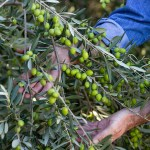 Olives ripe for the picking and production of olive oil