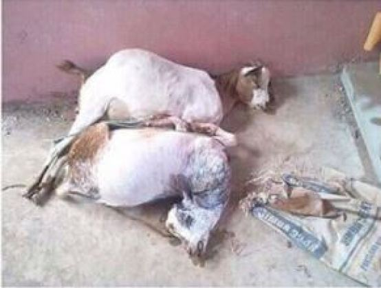 Shocking!! Man Rapes Two Goats To Death