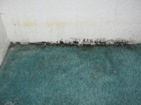 Can You Kill Mold in Carpet?