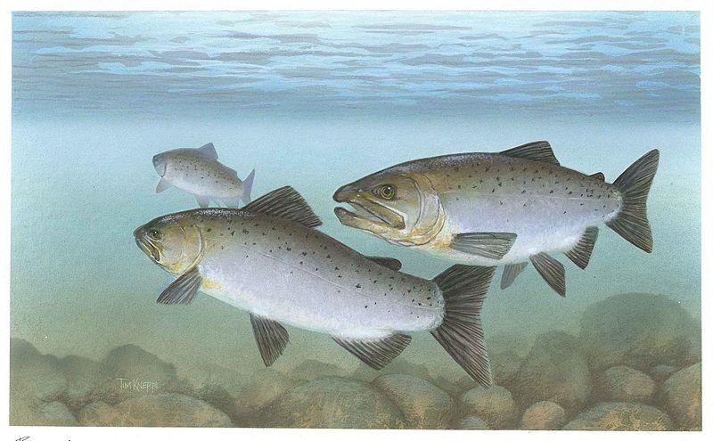 Columbia River Salmon