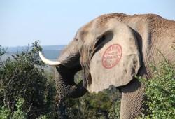 Chumion: Idaho Introduces Proposal to Construct Elephant Hatchery