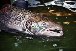 840 Atlantic salmon counted on the Penobscot