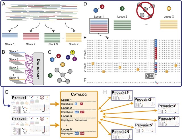 Figure 1:  Illustration of how STACKS works.  See text for details.  Directly from Catchen JM, Amores A, Hohenlohe PA, Cresko WA, Postlethwait JH.  2011.  Stacks: building and genotyping loci de novo from short-read sequences.  G3 Genes Genomes Genetics 1: 171-182.