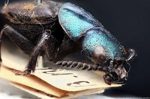 Darwinilus sedaris