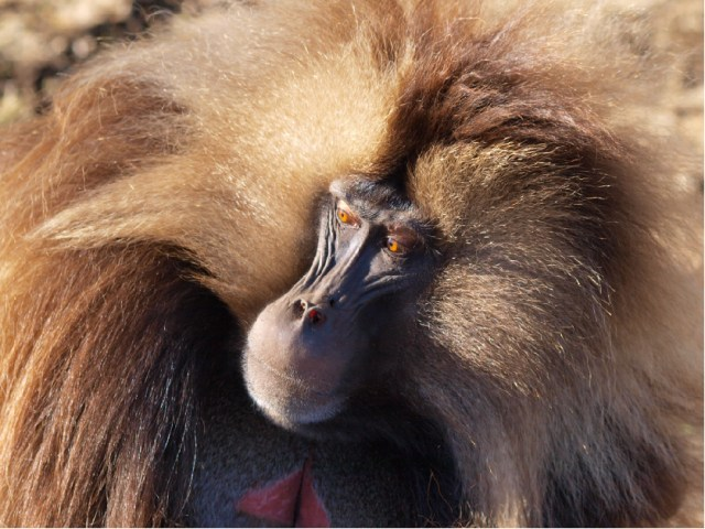 The gelada monkey (Theropithecus gelada). Photo by Noah Snyder-Mackler
