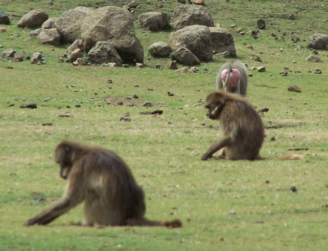 Hamadryas baboon and gelada monkeys foraging together Photo by Noah Snyder-Mackler