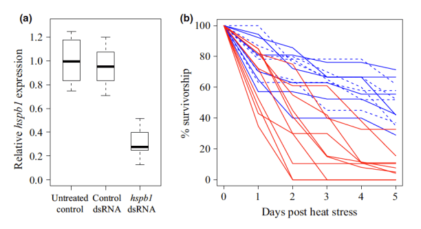 Fig. 2 Tolerance of Tigriopus californicus to high thermal stress during heat-shock beta 1 (hspb1) suppression. Copepods were electroporated in assay mixture containing hspb1 dsRNA (n = 10, red lines), nonspecific control dsRNA (n = 6, dashed blue lines) or no dsRNA (n = 6, solid blue lines). Four days after treatment, subsamples of copepods were used to quantify (a) expression of hsbp1 (relative to myosin and GAPDH). The remaining subsamples were exposed to a high temperature stress (36 °C for 1 h), and (b) their survivorship was monitored for 5 days.