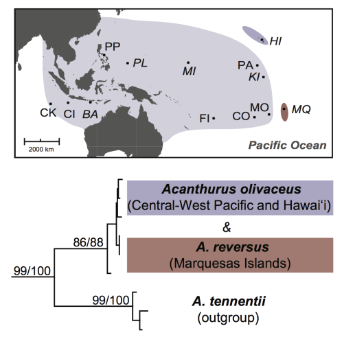 Distribution and phylogeny of A. Figure taken from