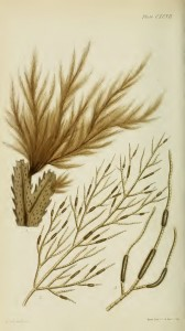 Pylaiella littoralis - Harvey's original illustration (Phycologia Britannica)