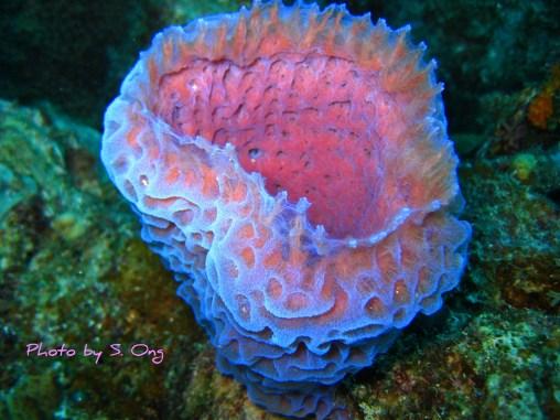 The azure vase sponge, Callyspongia plicifera. Photo by S. Ong