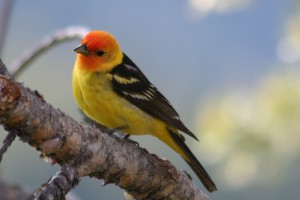 Your garden-variety Piranga sp. -- the Western Tanager (Wikimedia Commons: Kati Fleming)