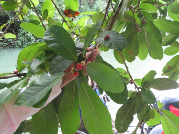 Ficus costaricana