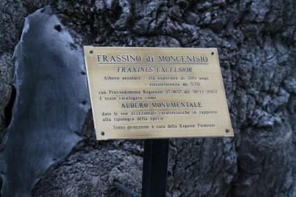 Il Grande Frassino a Moncenisio