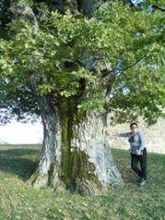 La grande quercia di Carovilli