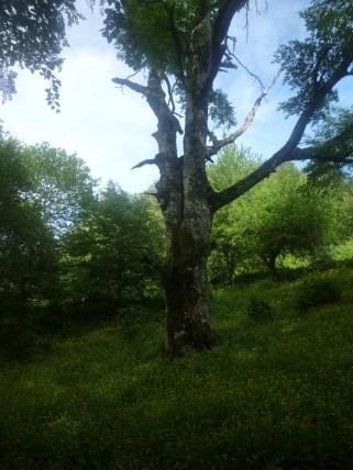 Il tronco del faggio che poi si biforca con una branca laterale. Alcuni rami secchi