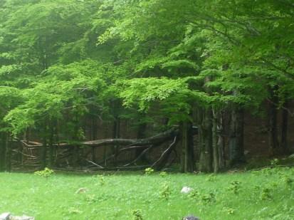 Boiano caduta di un albero