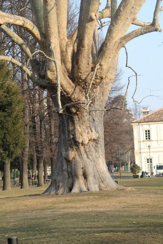 Il grande Platano della Tesoreria a Torino