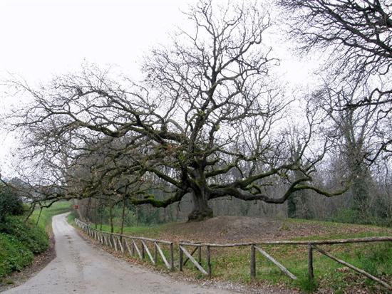 Il Quercione - Si tratta di una quercia monumentale dell' età stimata di oltre 500 anni.