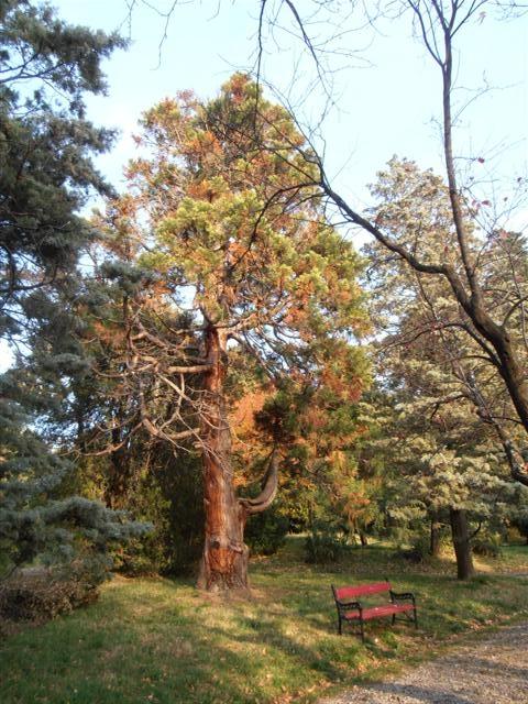 la foto rappresenta la sequoia in tutta la sua grandezza vicino al sentiero stradina e alla panchina