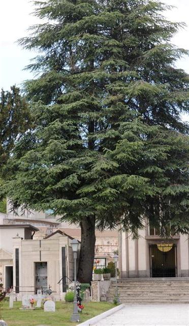 Maestoso albero monumentale sito nel cimitero di Rionero Sannitico.