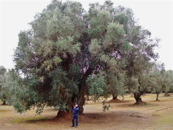 olivo vigneboschi melendugno