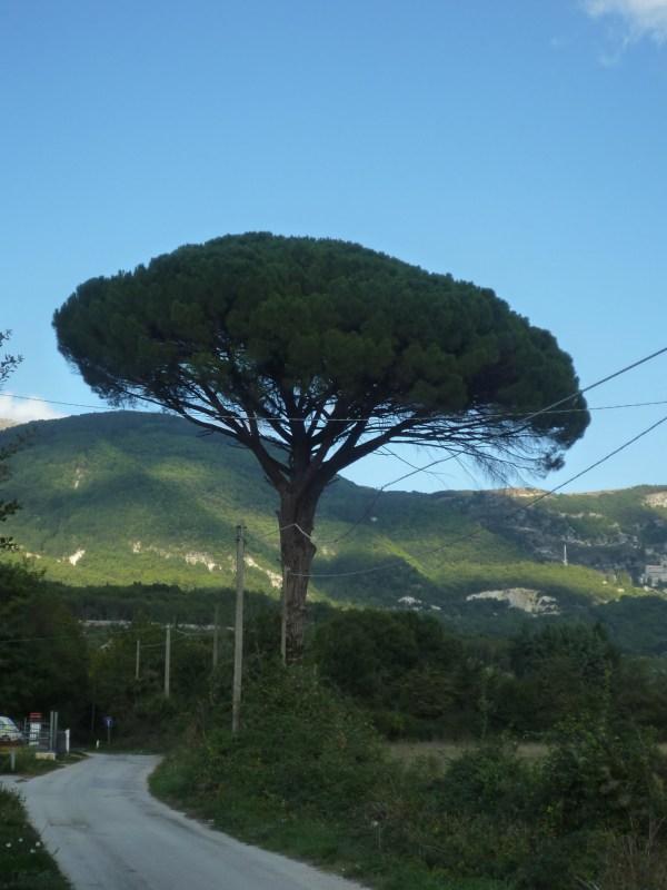 Isernia Pinus Pinea in località le Piane