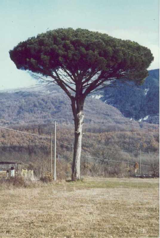 Isernia Pinus Pinea in località le Piane  un po' di anni fà