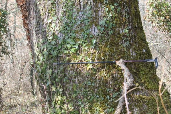 Chiauci la grande quercia di Contrada Marangone