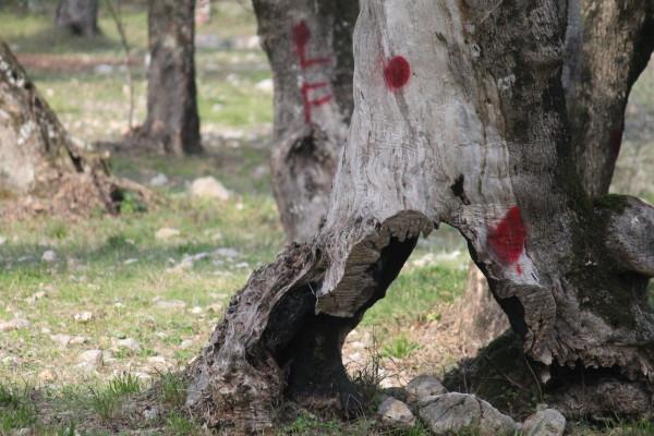 Il Parco degli Olivi di Venafro