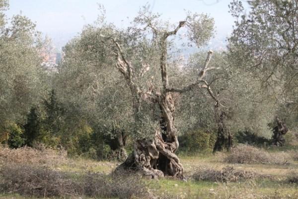 Venafro Parco degli Olivi