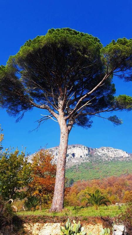 Il Pinus Pinea di Pratella