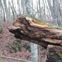 la zona ove è avvenuta la rottura del tronco con circonferenza di 590 cm