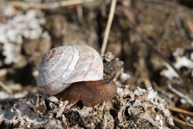 Oreohelix subrudis