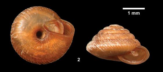 Strobilops aeneus
