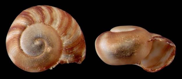 Post-embryonic juvenile of Anguispira alternata, MacJohnson Wildlife Area, Elizabethtown-Kitley, Leeds and Grenville United Co., Ontario (rgf 10.219.3960), w: 3.1 mm.